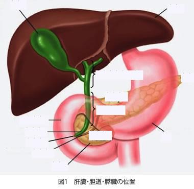 図1 肝臓・胆道・膵臓の位置